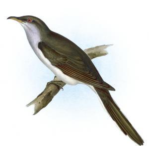 Cuckoo clipart Cuckoo Americanus Download American Art