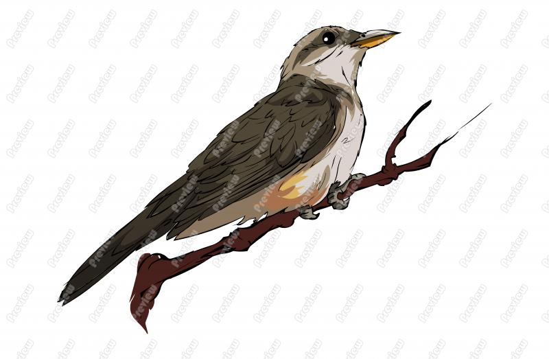 Cuckoo clipart Cuckoo Clipart  Bird