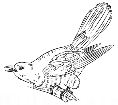Cuckoo clipart long tailed  Free pages Pages Cuckoos