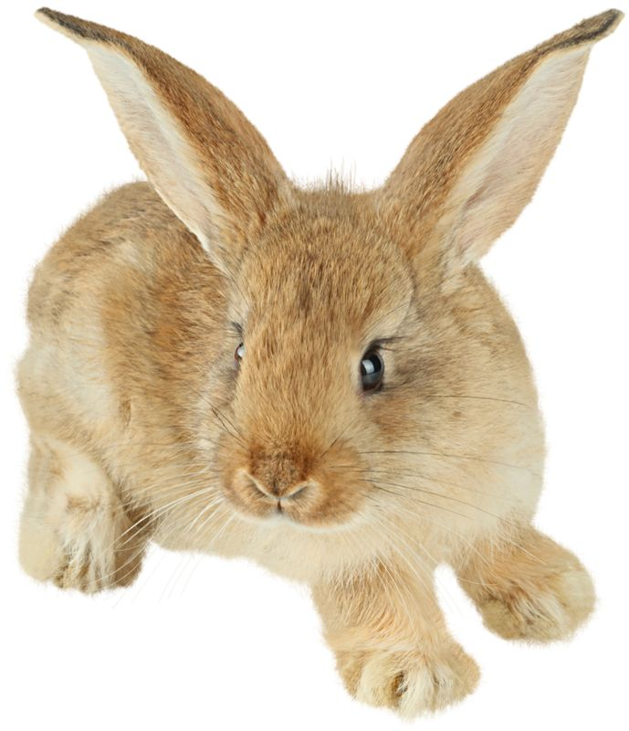 Cuddle clipart brown bunny Brown 108 Picture on images