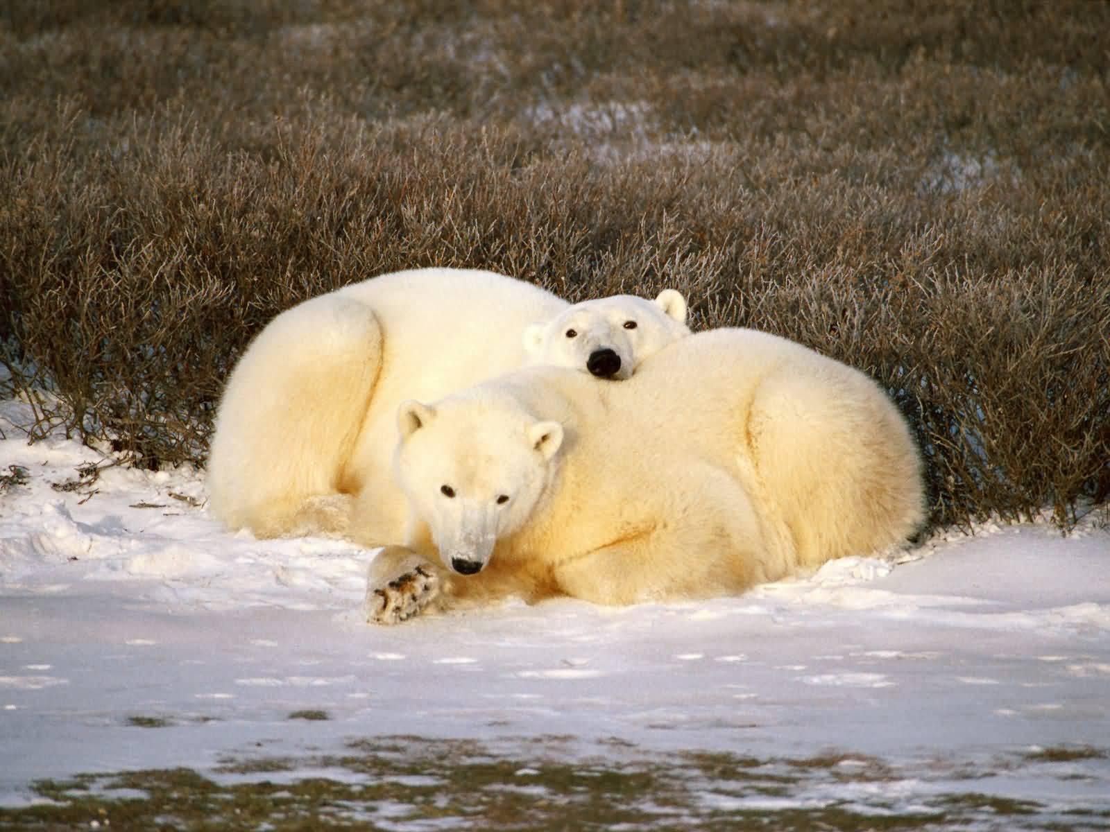 Cuddle clipart polar bear Bear Polar Cuddle Bear Pictures