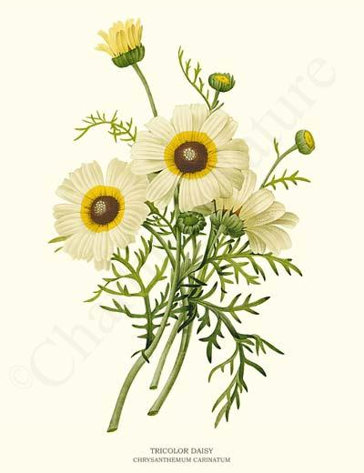 Daisy clipart botanical illustration #10