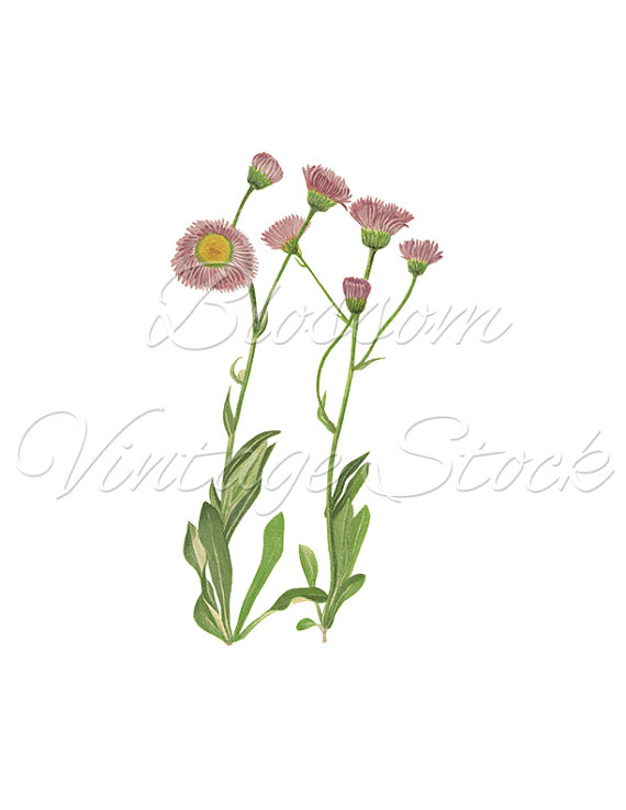 Daisy clipart botanical illustration #13