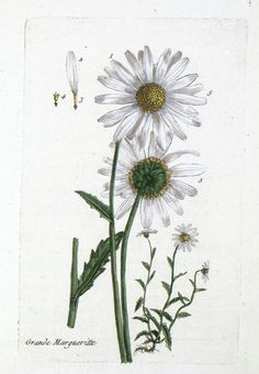 Daisy clipart botanical illustration #15