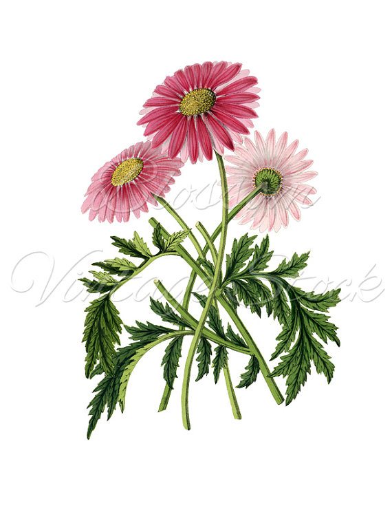 Daisy clipart botanical illustration #6