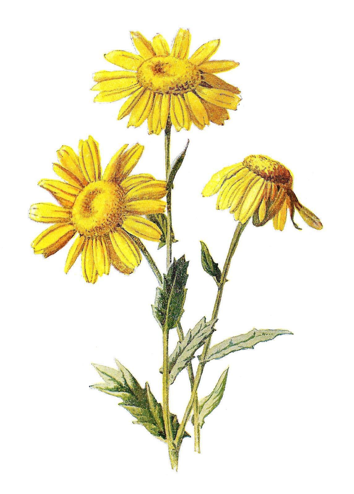 Wildflower clipart yellow flower Wildflower clipart Wildflower drawings Download