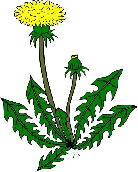 Dandelion clipart Free Flower Flower Dandelion Open