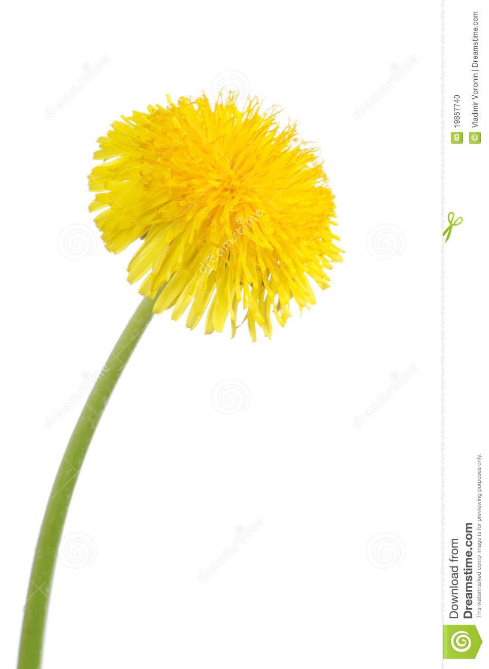Dandelion clipart Yellow cliparts Dandelion Dandelion Clipart