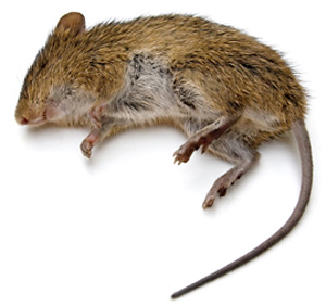 Drawn rodent rodent Kill Rats Norway How Rat