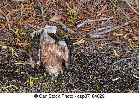 Dead clipart falcon Closeup lying dead falcon falcon