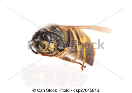 Hornet clipart wasp On isolated white csp27645813 Dead