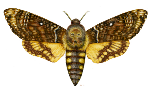 Deaths Head Moth clipart Death's of by illustration »