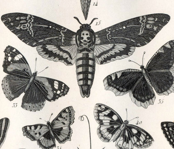 Deaths Head Moth clipart Engraving Engraving Moth Steel Insects