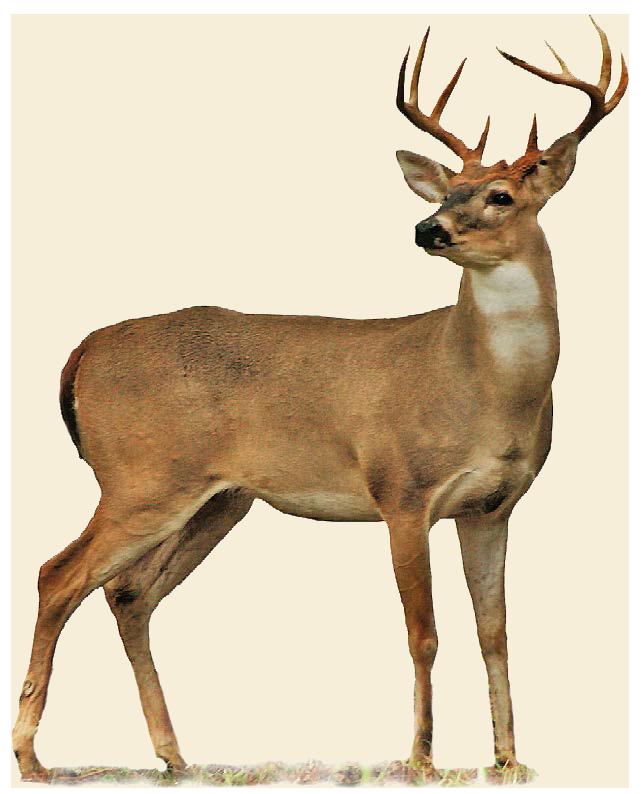 Buck clipart transparent Deer PNG free deer download