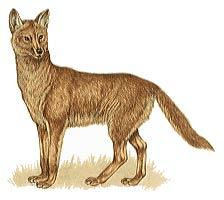 Dingo clipart  Dingo