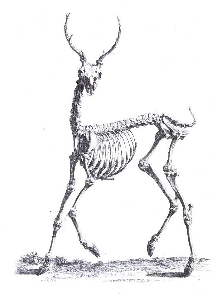 Drawn skeleton back Animal love Pinterest Skeleton Skeletons