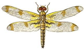 Yellow clipart dragonfly Clipart Free Top Clipart 86