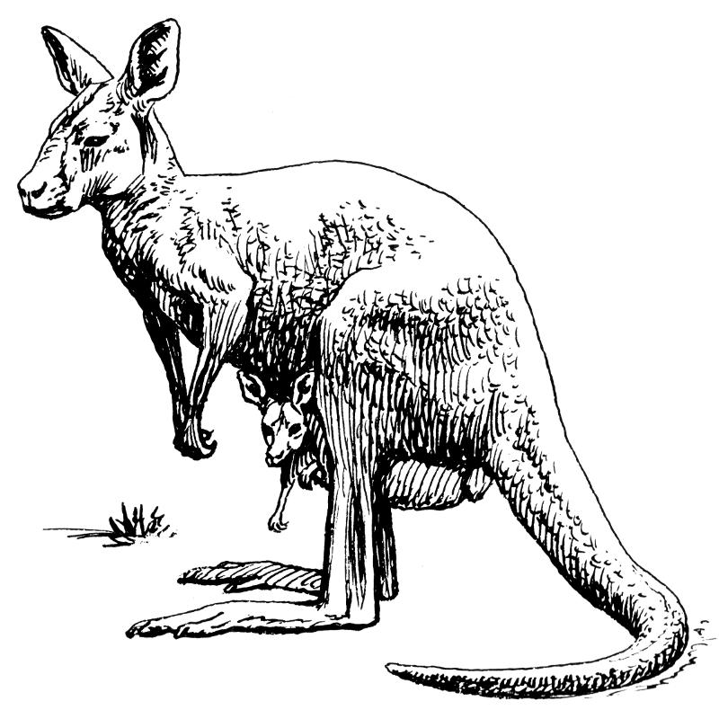 Drawn kangaroo black and white Page Clip Art Kangaroo of