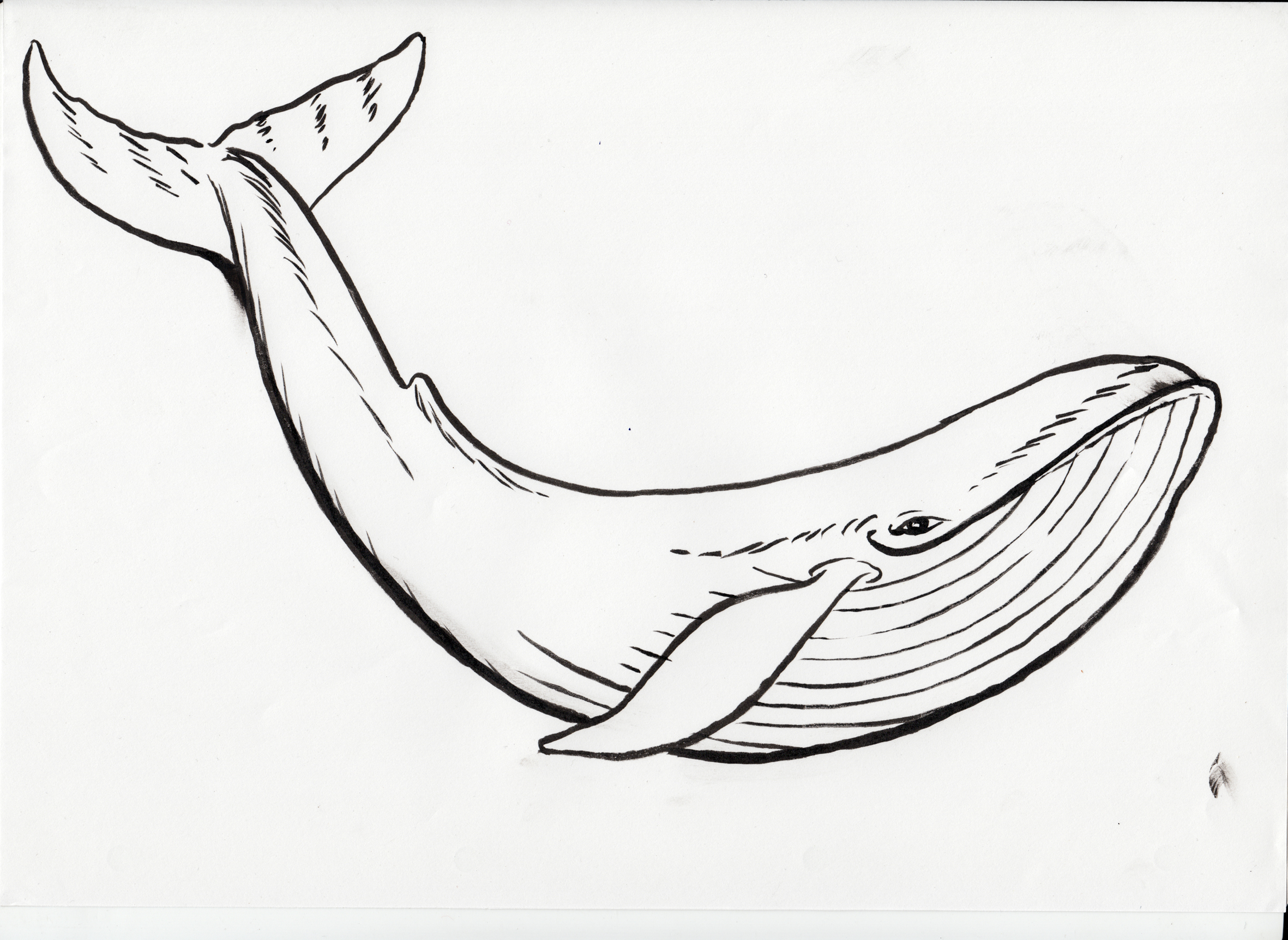 Humpback Whale clipart coloring page Page Clipart Black Humpback Coloring