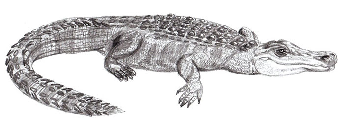 Drawn alligator #14