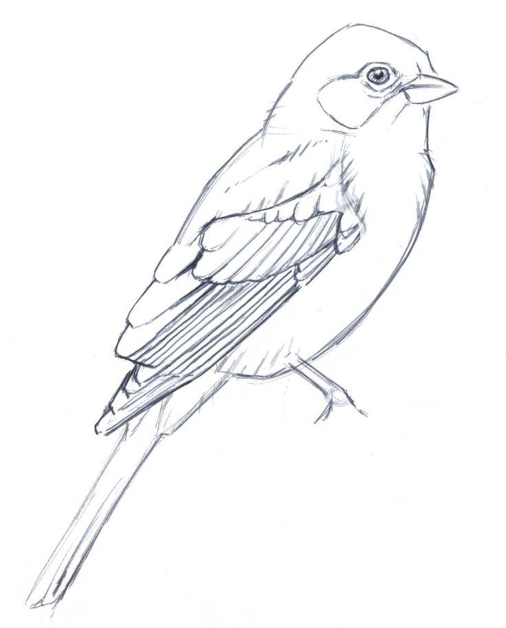 Drawn amd Simplify plumage drawings 25+ bird