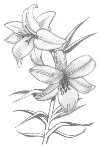 Drawn amd lily Flowers lily by Flowers Lily