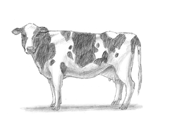 Drawn cattle realistic #1