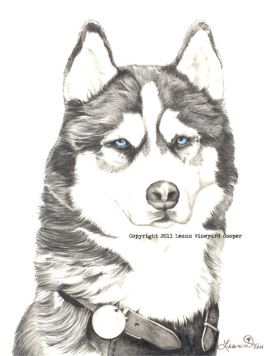 Drawn animal husky #12