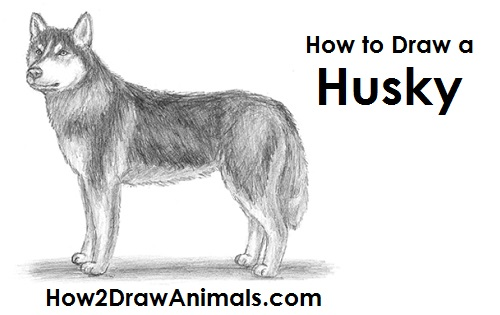 Drawn animal husky #10