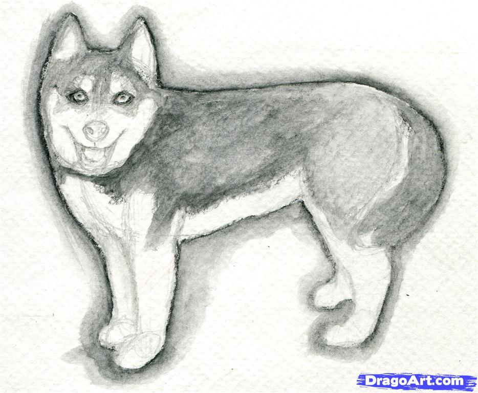 Drawn animal husky #11