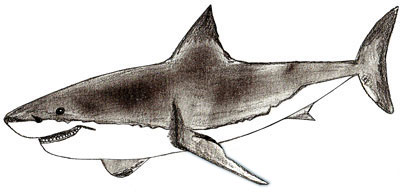 Drawn shark vintage A Shark Step How Draw