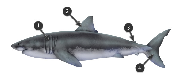 Drawn shark vintage How to Great Fish shark