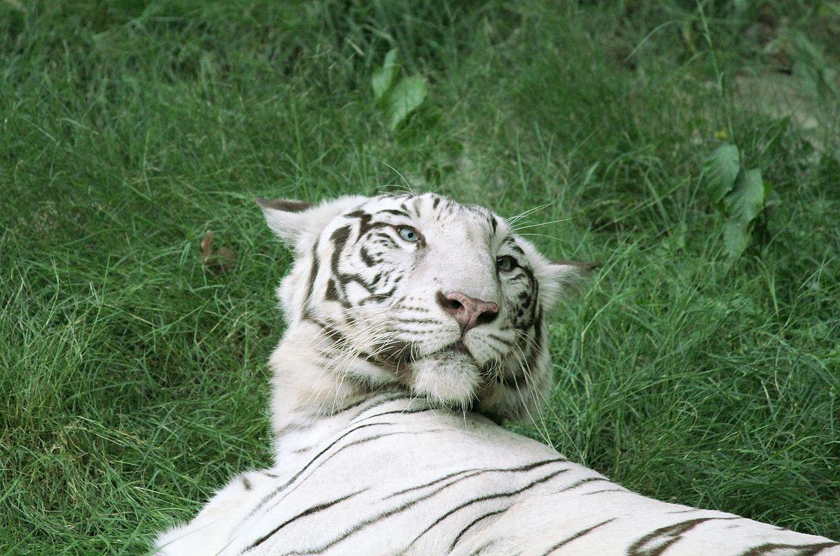 Drawn animal white tiger #7