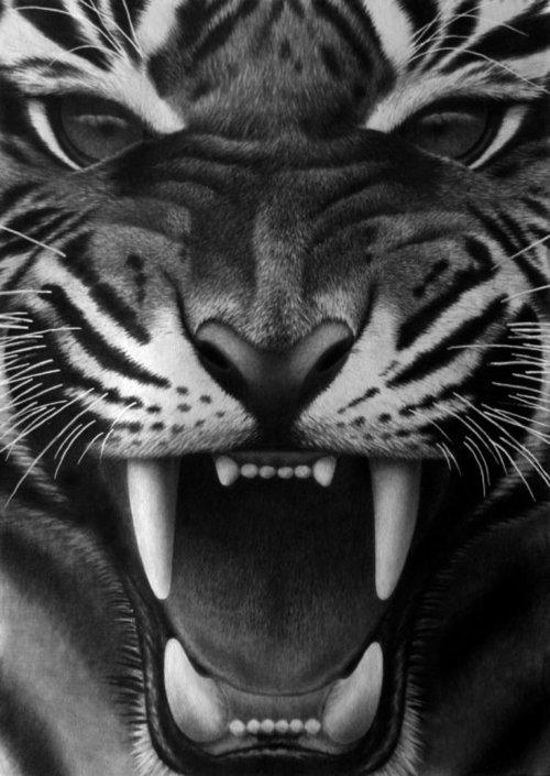 Drawn animal white tiger #6