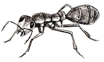 Drawn ant #12