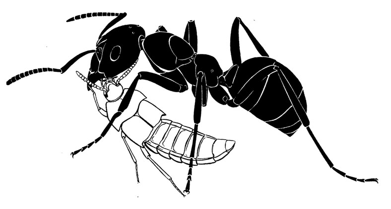 Drawn ants Ant from beetle Ant Drawing