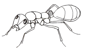 Drawn ant #5