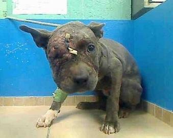 Drawn pit bull pitbul In recovering smell  abused