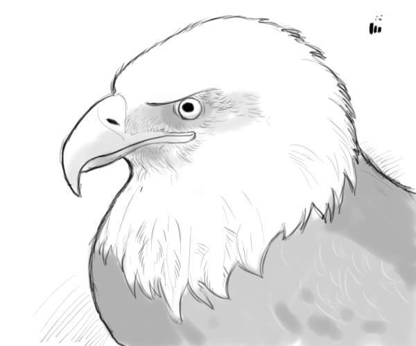 Drawn bald eagle #3