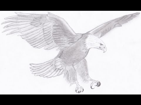 Drawn bald eagle #11