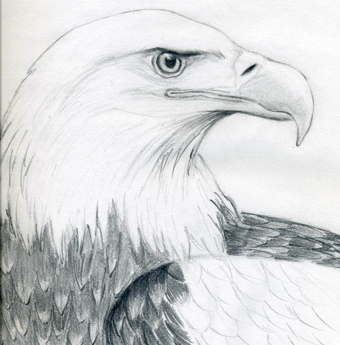 Drawn eagle To bald a Draw