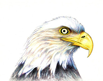 Drawn steller's sea eagle eagle eye Available Bald an Eagle drawing