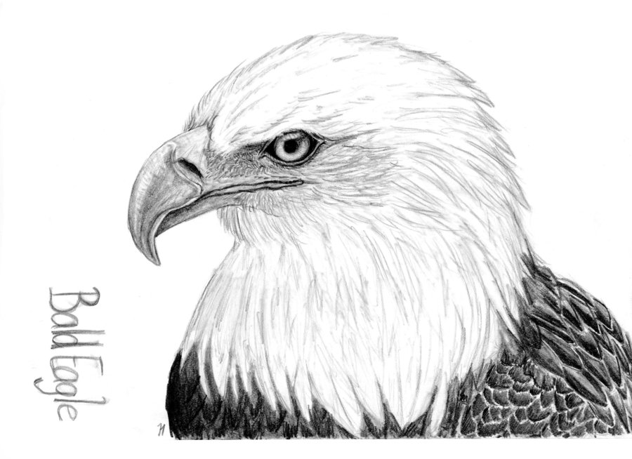 Drawn bald eagle #5