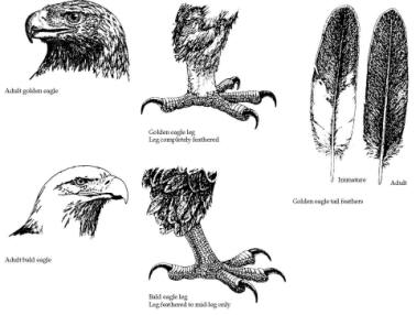 Drawn reptile golden eagle Predation eagles and physical and