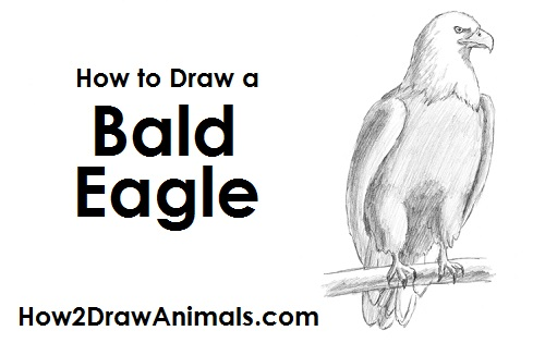 Drawn hawk standing eagle Draw (Bald) Draw an to