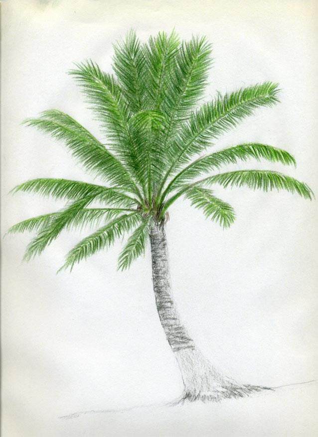 Drawn palm tree different Drawings To Palm Trees Nature