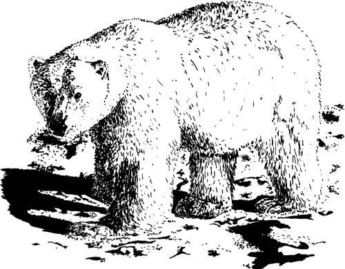 Drawn polar  bear eats Control arctos and Polar Polar