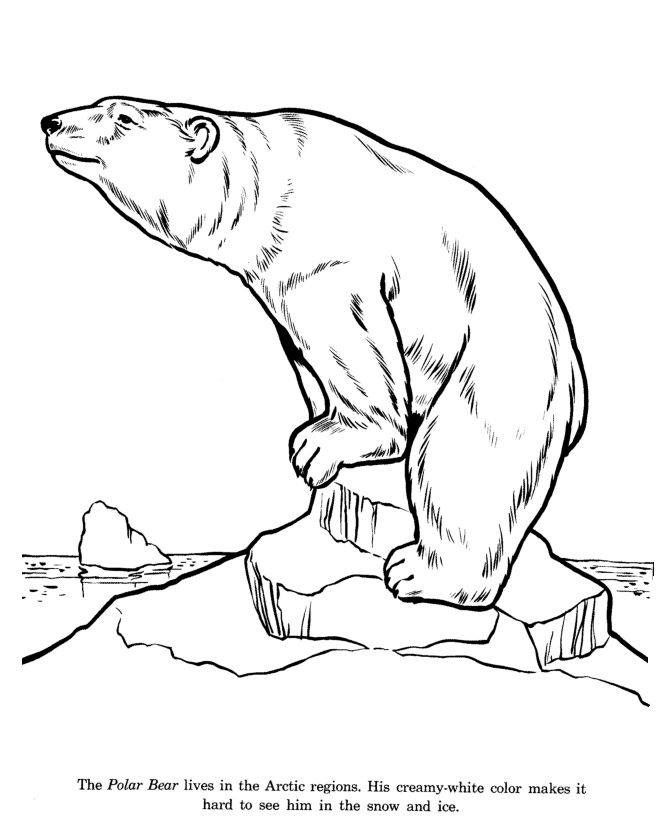 Drawn polar  bear arctic animal #2