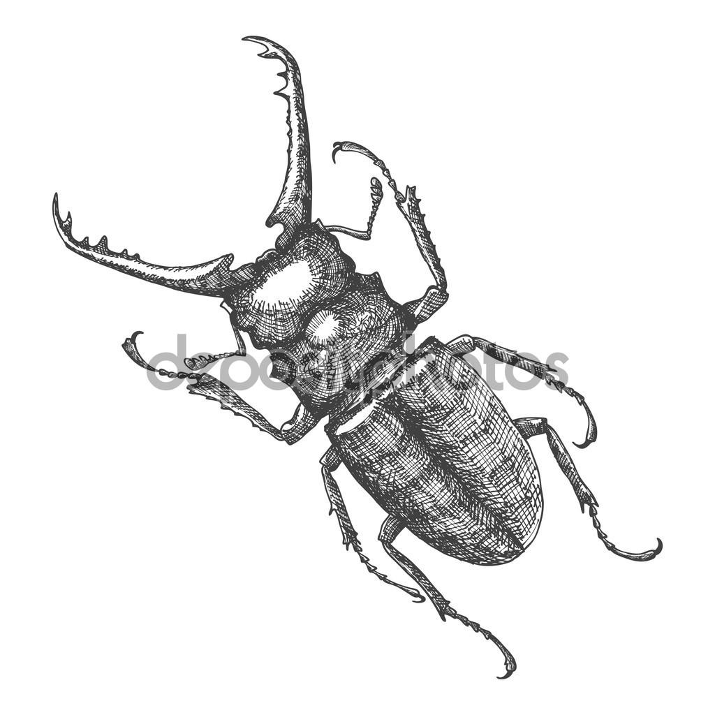 Drawn beatle Sketch Vector sketch goldenshrimp —