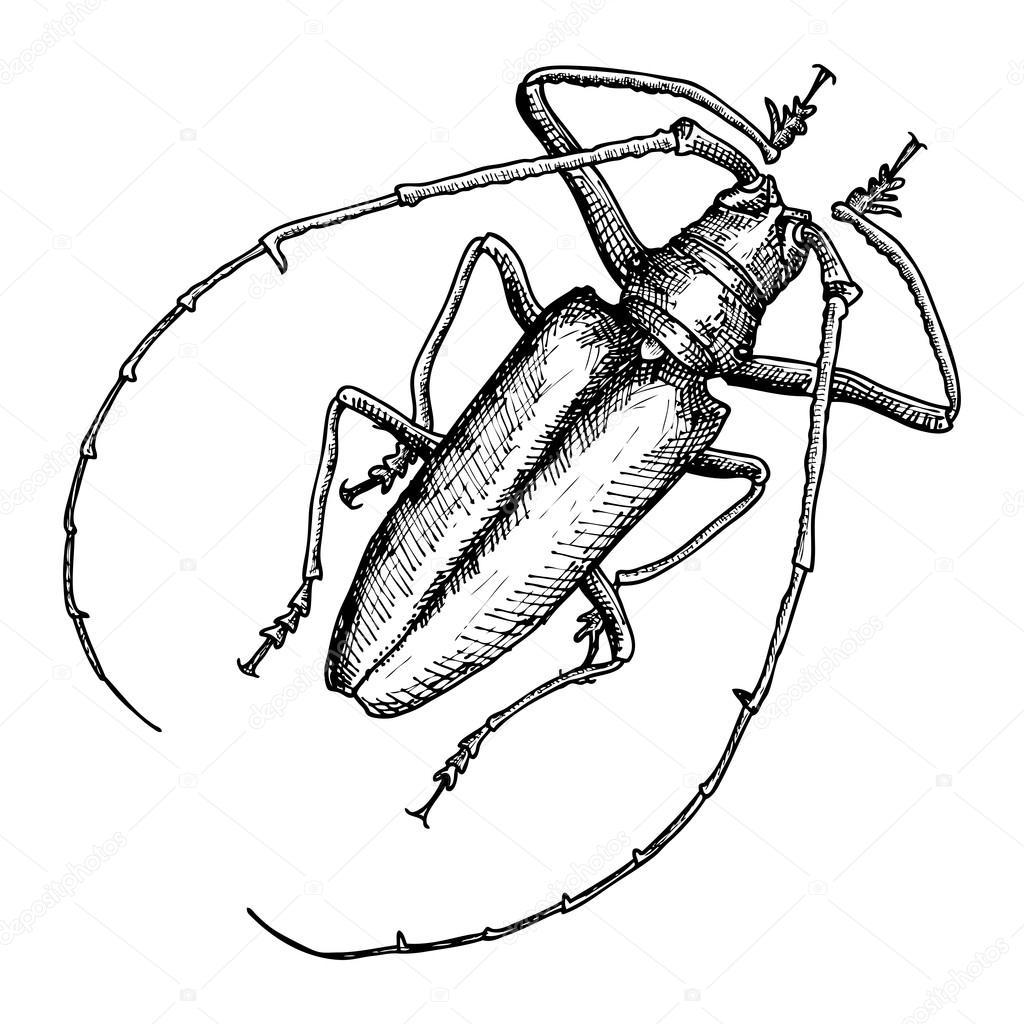 Drawn beelte Sketch #127575396 Stock beetle #127575396